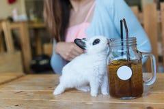 在咖啡馆的兔子 免版税库存照片