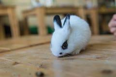 在咖啡馆的兔子 库存照片