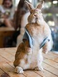 在咖啡馆的逗人喜爱的棕色兔子展示 免版税库存图片