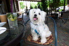 在咖啡馆的逗人喜爱的白色狗 免版税库存照片