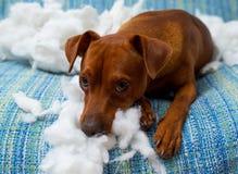 在咬住枕头以后的淘气嬉戏的小狗 免版税库存图片