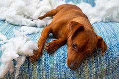 在咬住枕头以后的淘气嬉戏的小狗 免版税库存照片