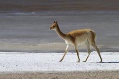 在咸银行的骆马 免版税图库摄影