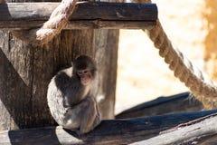 在哀伤的动物园的日本猴子沉思密谋的某事 免版税库存图片