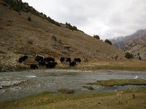 在哈萨克斯坦山的野生公牛 免版税库存照片