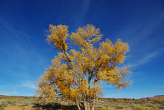 在哈里斯洗涤,犹他附近的偏僻的结构树 免版税库存照片