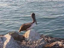 在哈钦森角海岛佛罗里达上的鹈鹕 免版税库存图片