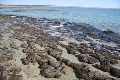 在哈默尔恩水池澳大利亚西部的Stromatolites 库存图片