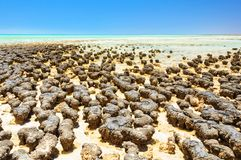 在哈默尔恩水池-德纳姆的Stromatolites 免版税库存照片