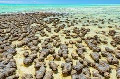 在哈默尔恩水池-德纳姆的Stromatolites 图库摄影