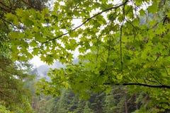 在哥伦比亚河峡谷的藤槭树在俄勒冈 库存照片