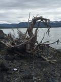 在哥伦比亚海湾阿拉斯加的被缠结的树根 免版税库存图片