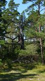 在哥得兰岛(瑞典)的东海岸的老树 库存照片