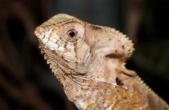 在哥斯达黎加拍摄的头盔状的蛇怪 免版税库存照片