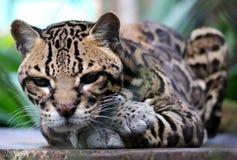 在哥斯达黎加美丽的动物的野生猫豹猫 免版税库存图片
