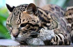 在哥斯达黎加美丽的动物的野生猫豹猫 库存图片