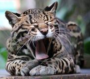 在哥斯达黎加美丽的动物的野生猫豹猫 图库摄影