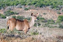 在哪里对其次-更加伟大的Kudu -非洲羚羊类弯角羚类 免版税库存照片