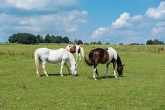 在哺养的草甸的几匹马在阳光下 免版税库存图片