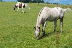 在哺养的草甸的几匹马在阳光下 免版税图库摄影