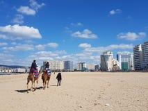 在唐基尔海滩的骆驼 图库摄影