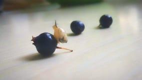在唐棣属的一只小蜗牛 库存照片