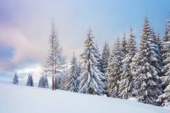 在喀尔巴阡山脉的伟大的冬天照片与积雪的冷杉木 五颜六色的室外场面,新年快乐 免版税库存图片