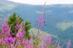 在喀尔巴汗的山坡的野花柳草 免版税库存照片