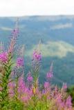 在喀尔巴汗的山坡的野花柳草 免版税图库摄影