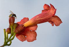 在喇叭藤的黄蜂 免版税库存照片