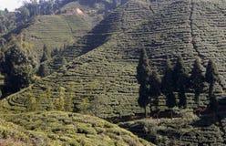 在喜马拉雅倾斜的茶。 库存图片