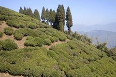 在喜马拉雅山倾斜的茶。 免版税图库摄影