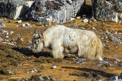 在喜马拉雅山山的牦牛,珠穆琅玛地区,尼泊尔。 库存图片