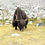 在喜马拉雅山山的狂放的牦牛。印度,拉达克 库存照片