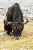 在喜马拉雅山山的狂放的牦牛。印度,拉达克 免版税库存图片