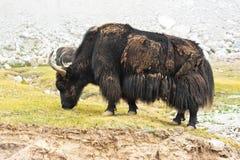 在喜马拉雅山山的狂放的牦牛 库存照片
