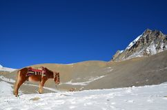 在喜马拉雅山山的马在尼泊尔 库存图片