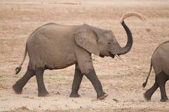 在喝的年轻大象在河以后 免版税库存图片