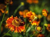 在喷嚏菊的土蜂 库存照片