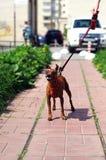 在喷嚏以后的惊人的滑稽的玩具狗 免版税图库摄影