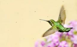 在喷水隆头之下的蜂鸟飞行。 免版税库存照片