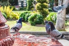 在喷泉的鸽子饮用水 免版税库存照片