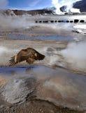 在喷泉,阿塔卡马沙漠,智利谷的神鹰  库存图片