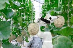 在喷洒化学制品的农业未来派机器人自动化工作的聪明的机器人农夫瓜 免版税库存图片