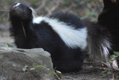 在嗅空气的臭鼬的逗人喜爱的矮小的黑鼻子 库存图片
