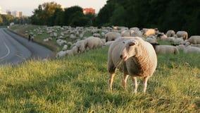 在嚼在堤堰的群前面的一只绵羊在一条街道旁边在汉堡,德国 股票录像