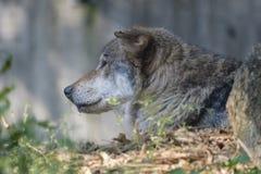 在囚禁的哀伤的狼 免版税库存图片