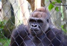 在囚禁的大猩猩 库存照片