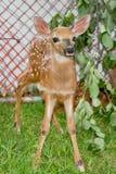 在囚禁的小鹿 免版税库存照片