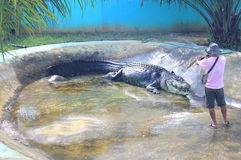 在囚禁的最大的鳄鱼 免版税库存照片